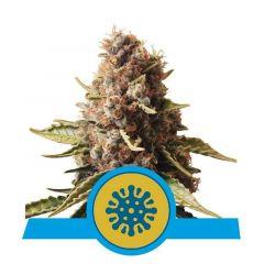 Euphoria CBD feminisiert Royal Queen Seeds