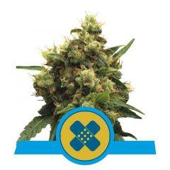 Painkiller XL CBD feminisiert Royal Queen Seeds